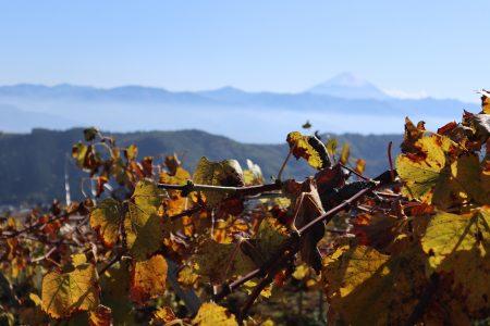秋・色づく葡萄の葉と富士山(山梨市牧丘地区)