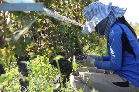 垣根栽培での葡萄収穫(笛吹市)