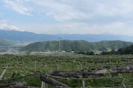 初夏・巨峰の産地の風景(山梨市牧丘地区)